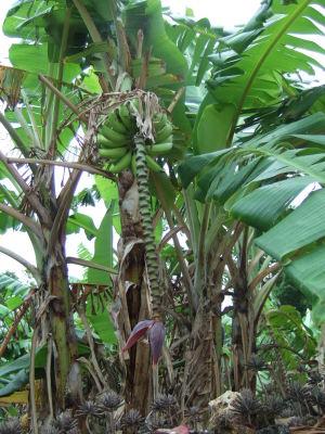 庭の島バナナ